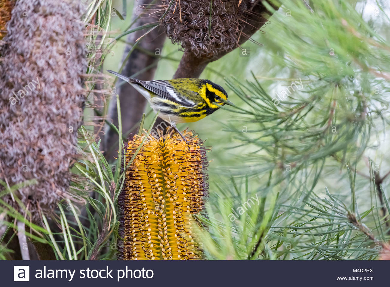 Townsend's Warbler (Setophaga townsendi) perched on Hairpin Banskia (Banksia spinulosa). - Stock Image