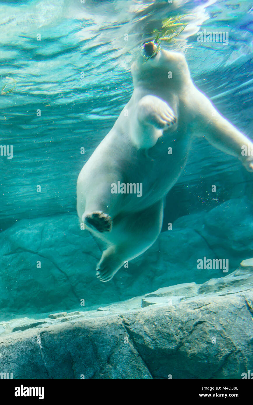 Polar Bear (Also known as Thalarctos Maritimus - Stock Image