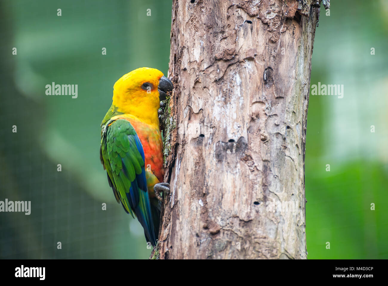 Golden conure parrot (Guaruba guarouba) at the Parque das Aves - Stock Image