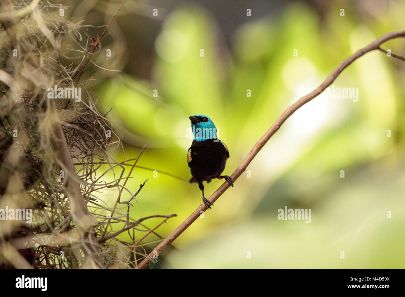 Blue necked tanager scientifically known as Tangara cyanicoilis - Stock Image