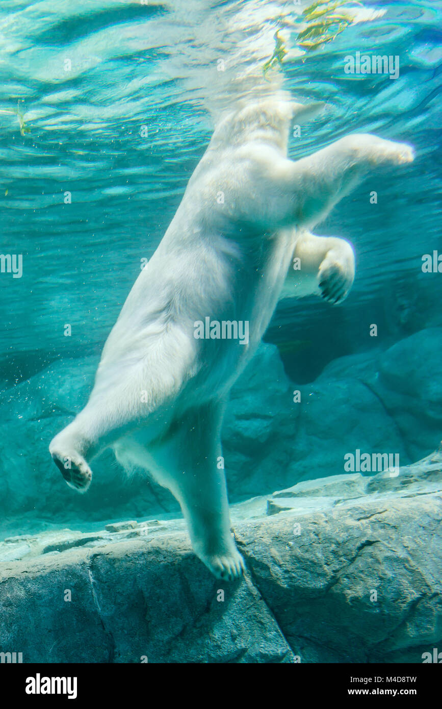 Polar Bear (Also known as Thalarctos Maritimus Stock Photo