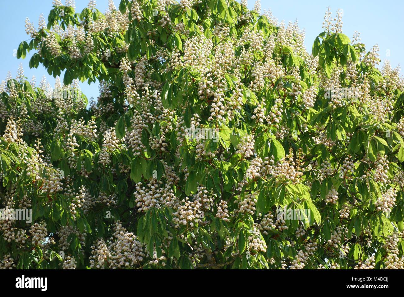 Aesculus hippocastanum, Horse Chestnut - Stock Image