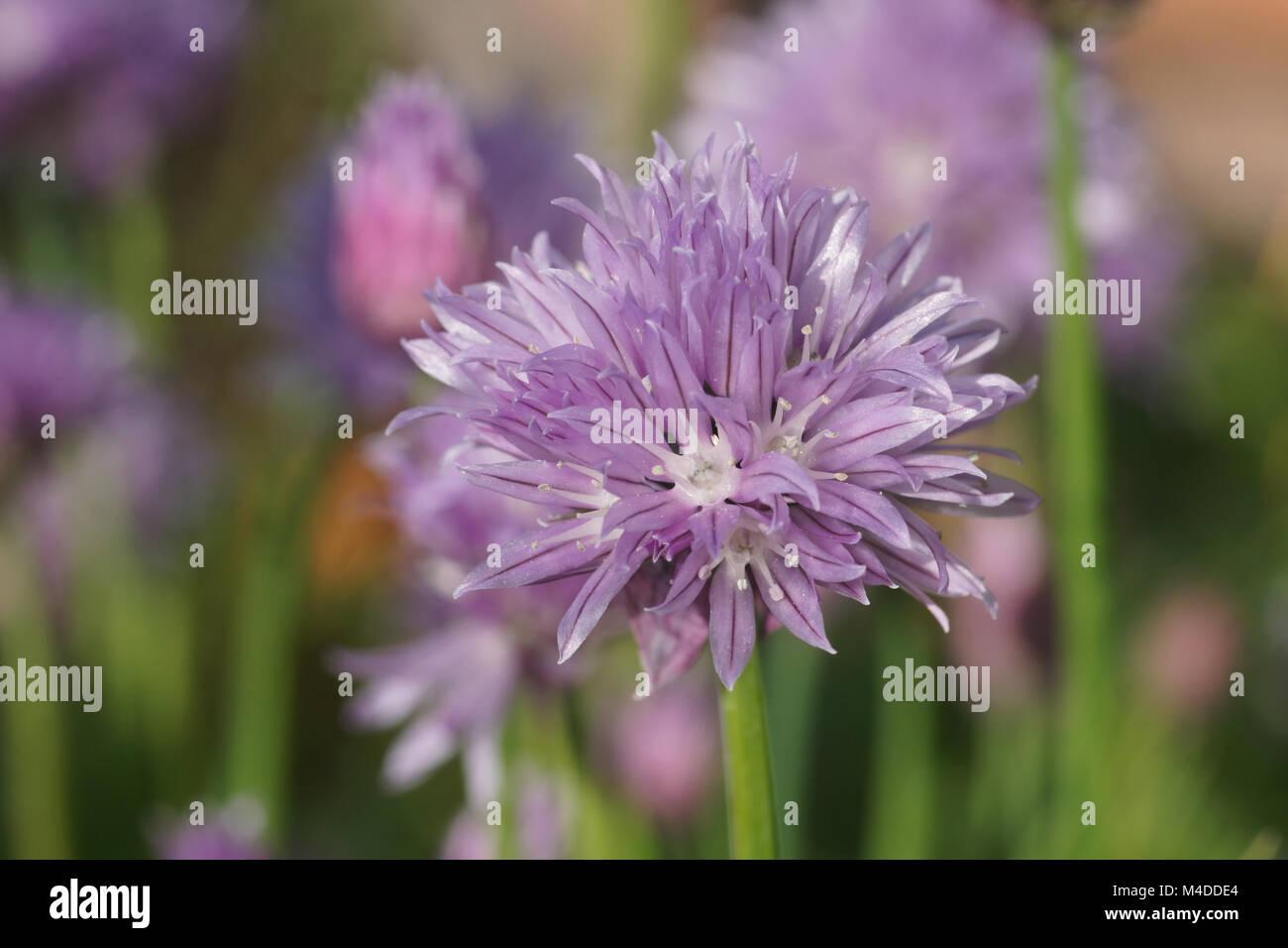 Allium schoenoprasum, Chives Stock Photo