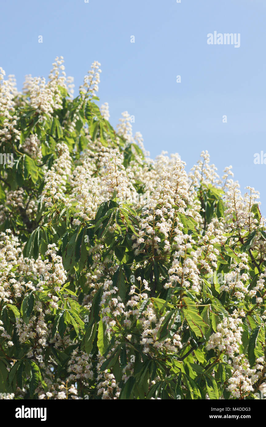 Aesculus hippocastanum, Horse Chestnut Stock Photo