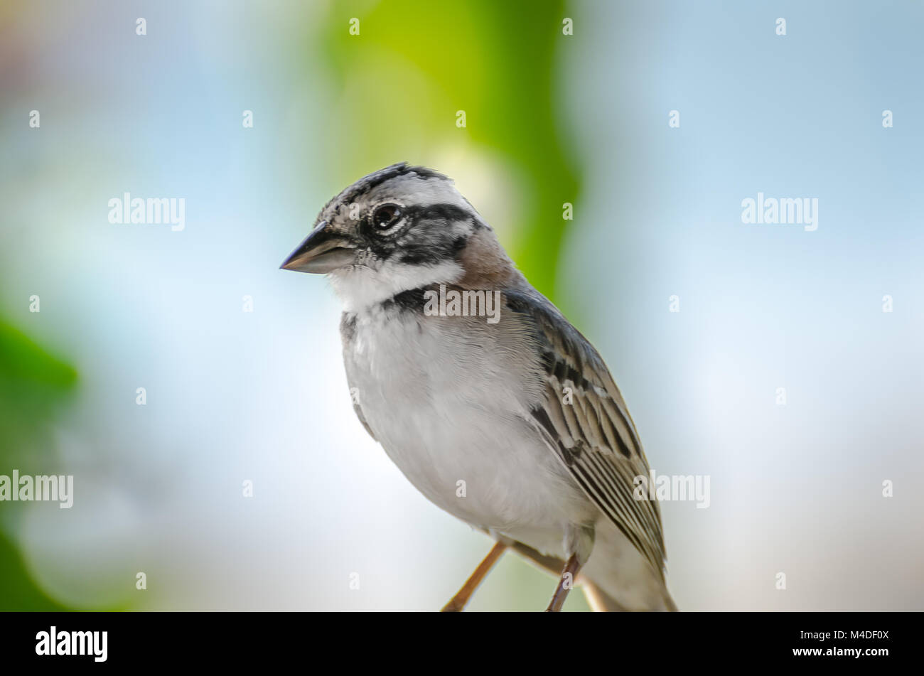 close up of a rufous collared sparrow perched Stock Photo
