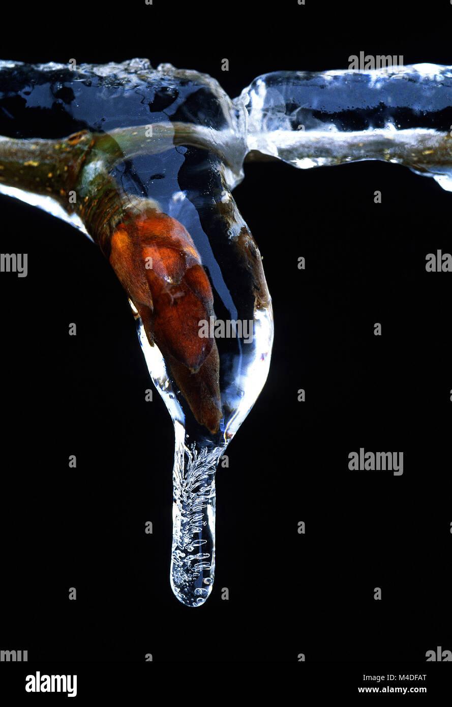 sleet; buds; leaf buds; freezing rain; sleety rain; - Stock Image