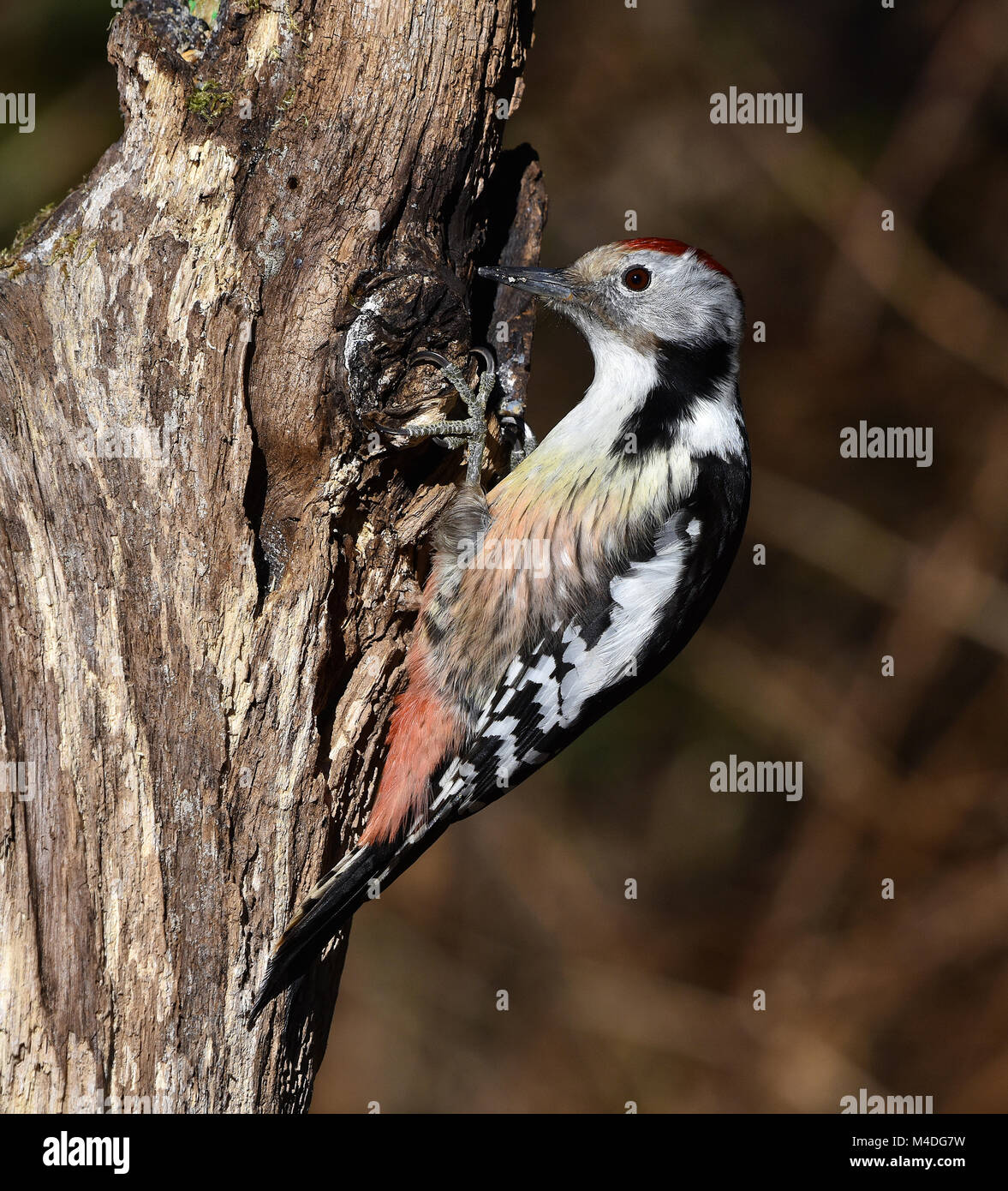 woodpecker; Middle Spotted Woodpecker; Leiopicus medius Stock Photo