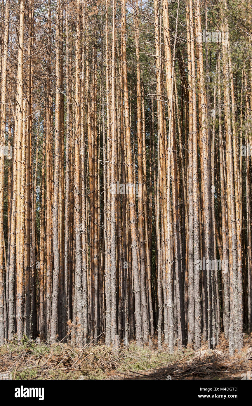 Pine forest attacked by engraver beetles - Stock Image