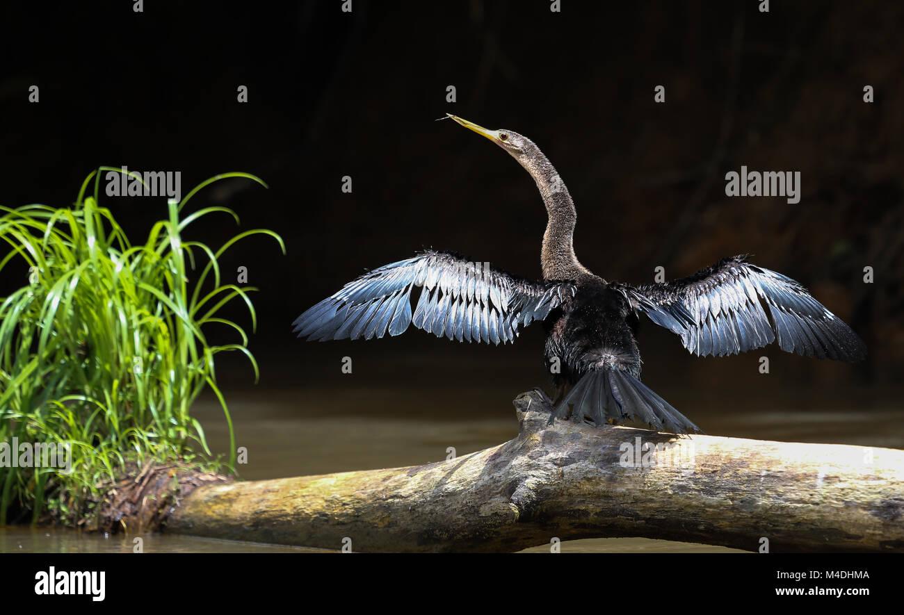 Anhinga in Cano Negro Reserve, Costa Rica - Stock Image
