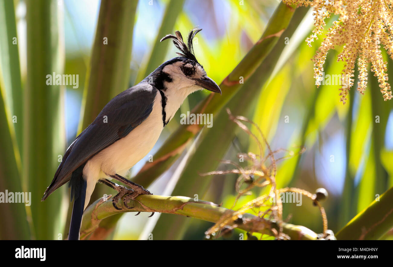 White throated magpie jay is sitting on a branch Stock Photo