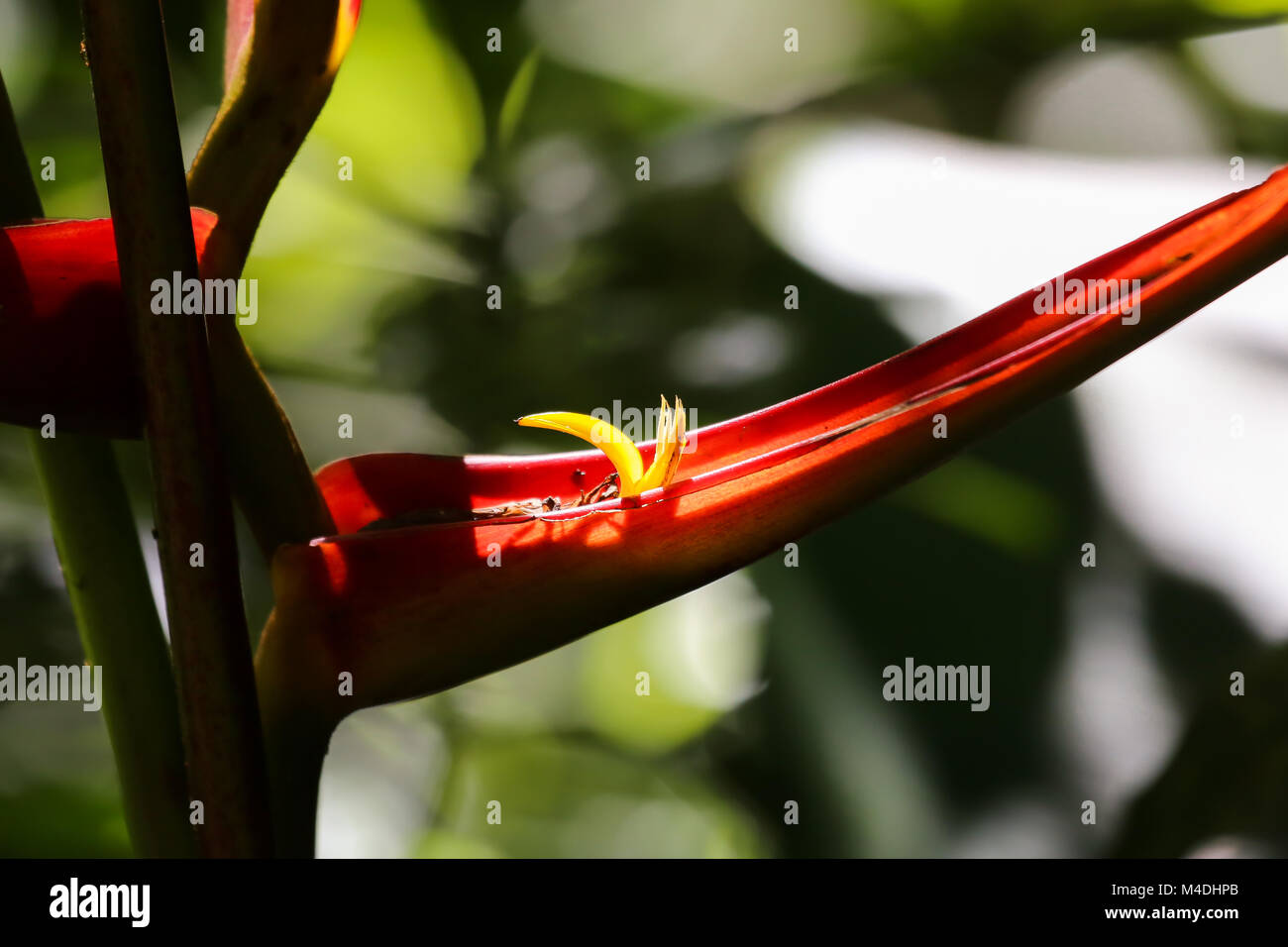Heliconia in light - Stock Image