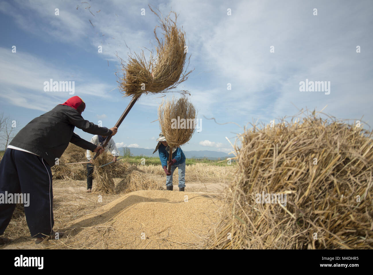 THAILAND CHIANG RAI AGRICULTURE RICEFIELD EARNING - Stock Image
