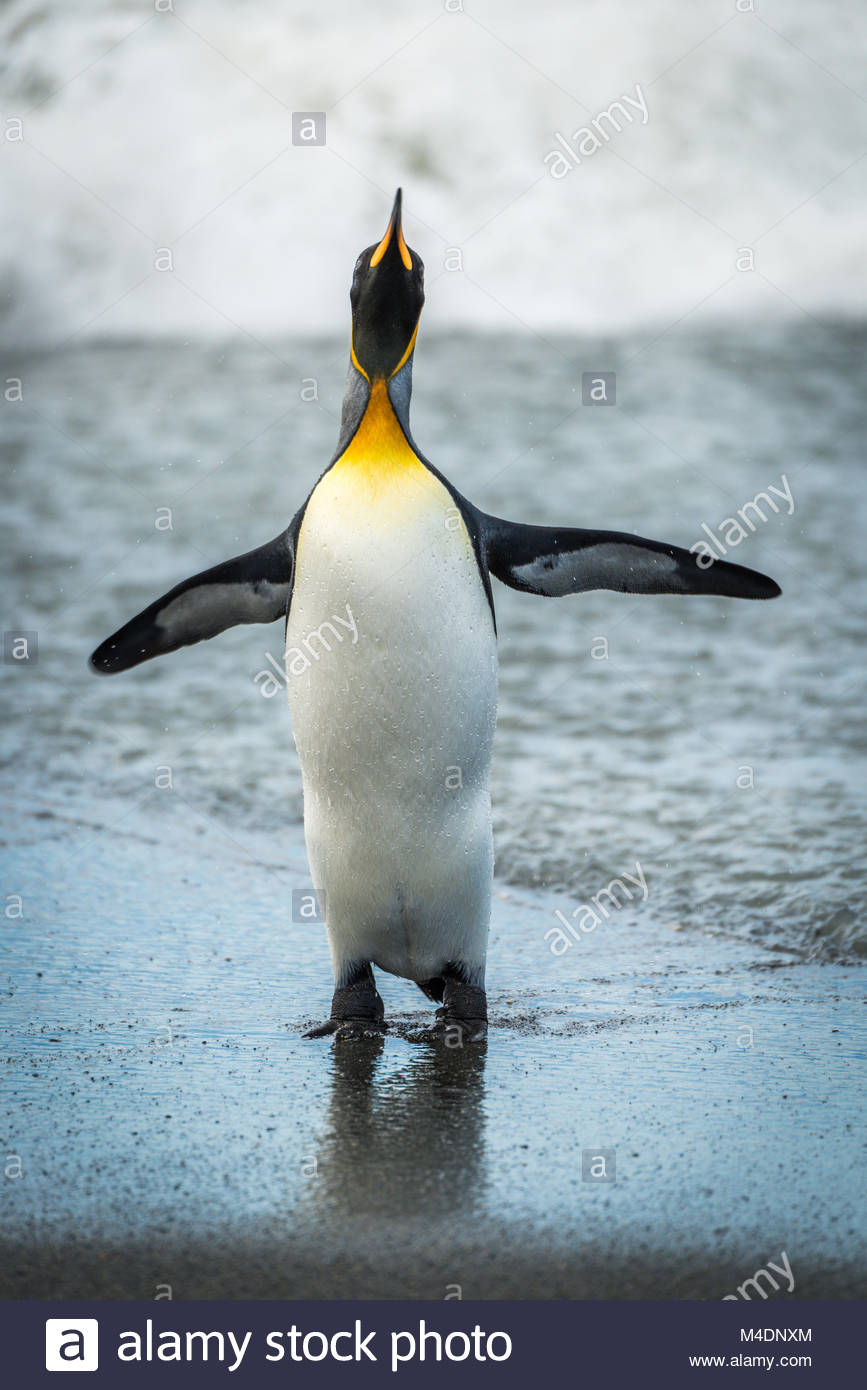 King penguin flapping flippers on wet beach - Stock Image