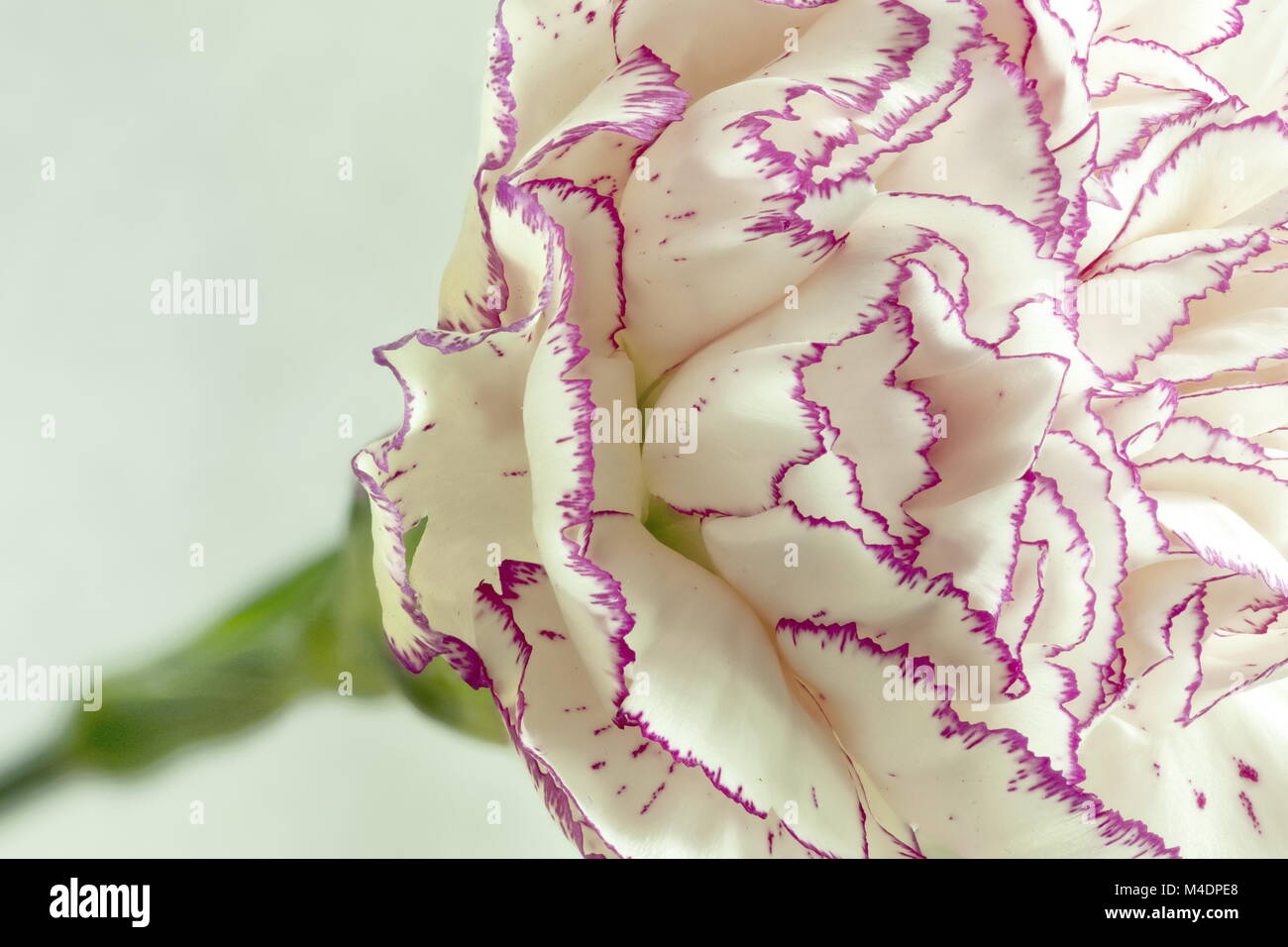 White carnation flower - Stock Image