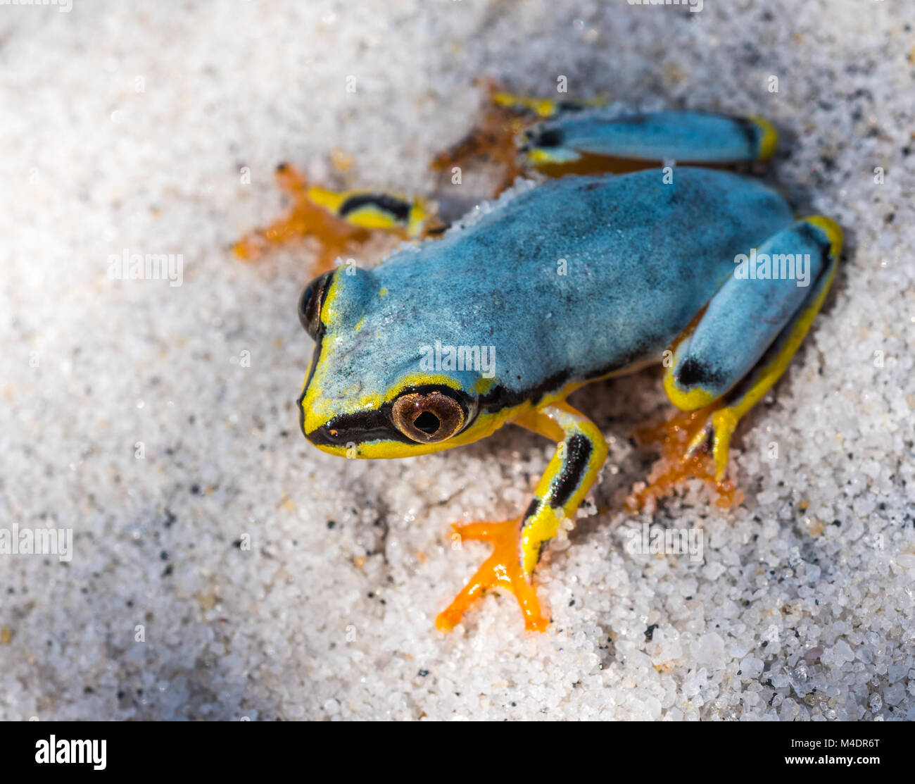 Boophis tree frog of Madagascar Stock Photo