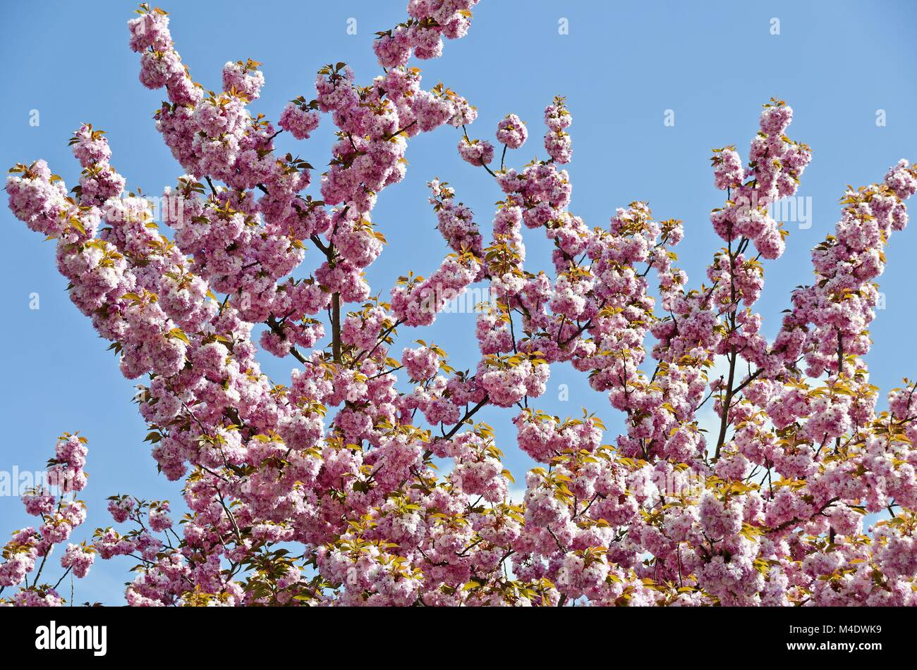 Japanese Almond Tree Stock Photos Japanese Almond Tree Stock