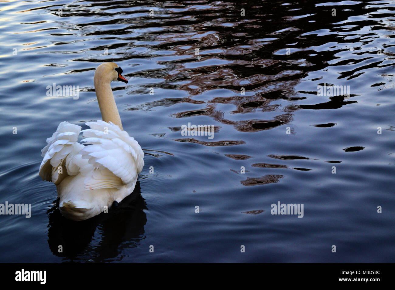 Beautiful white swan - Stock Image