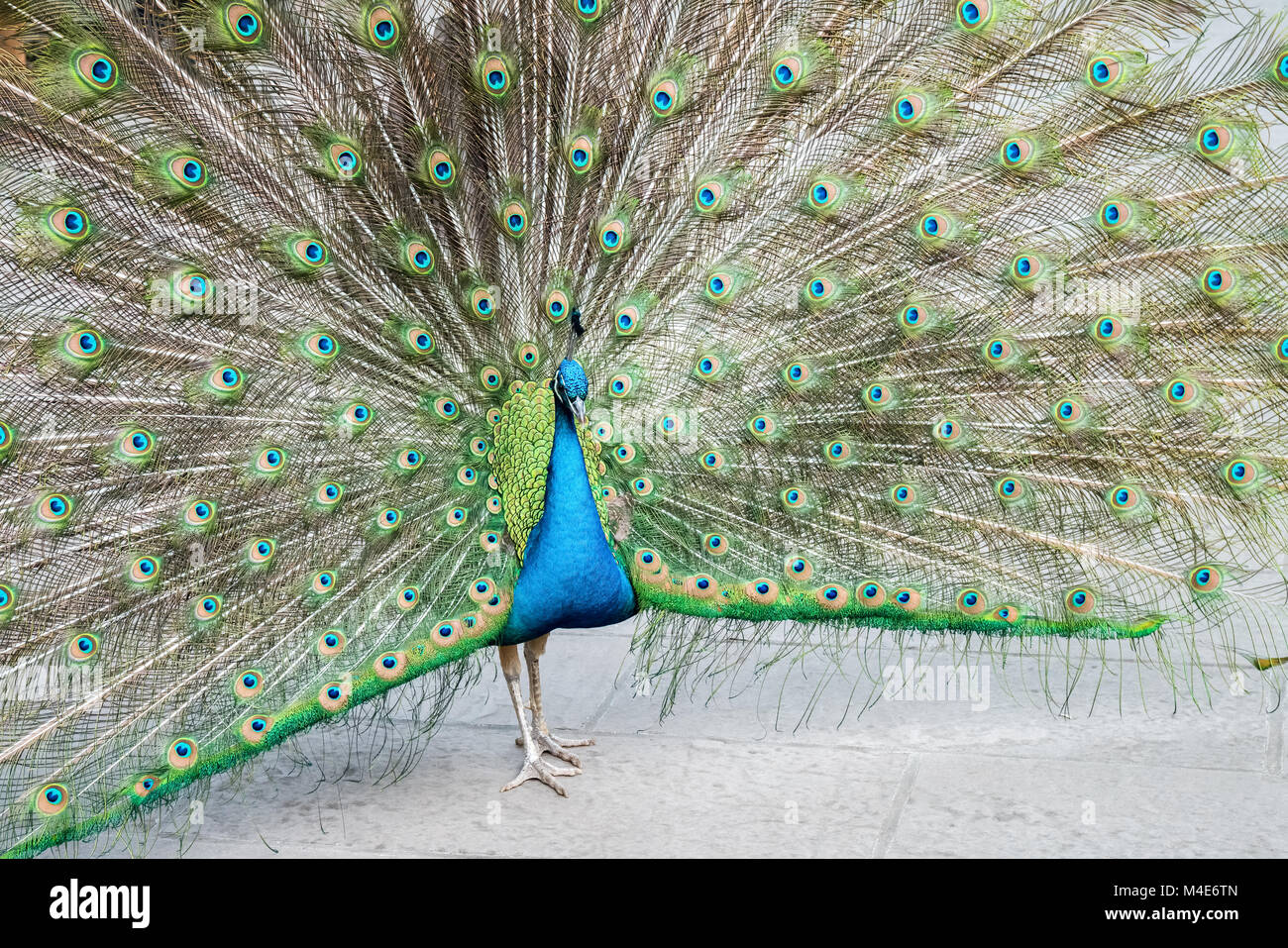proud as a peacock - Stock Image