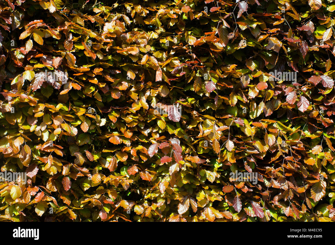 Brown and purple leaves in hedging - Stock Image