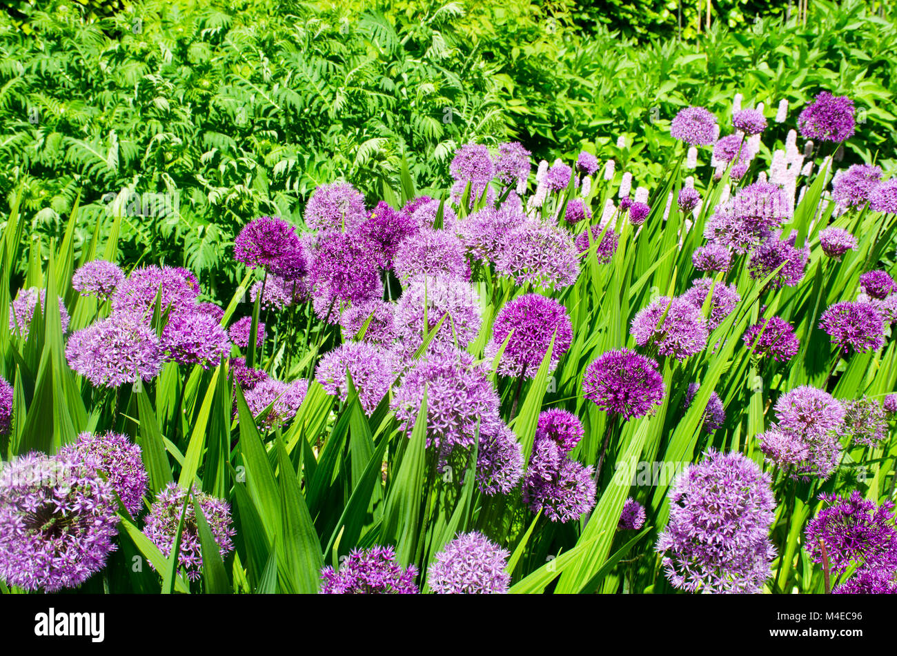 Large Purple Alliums - Stock Image