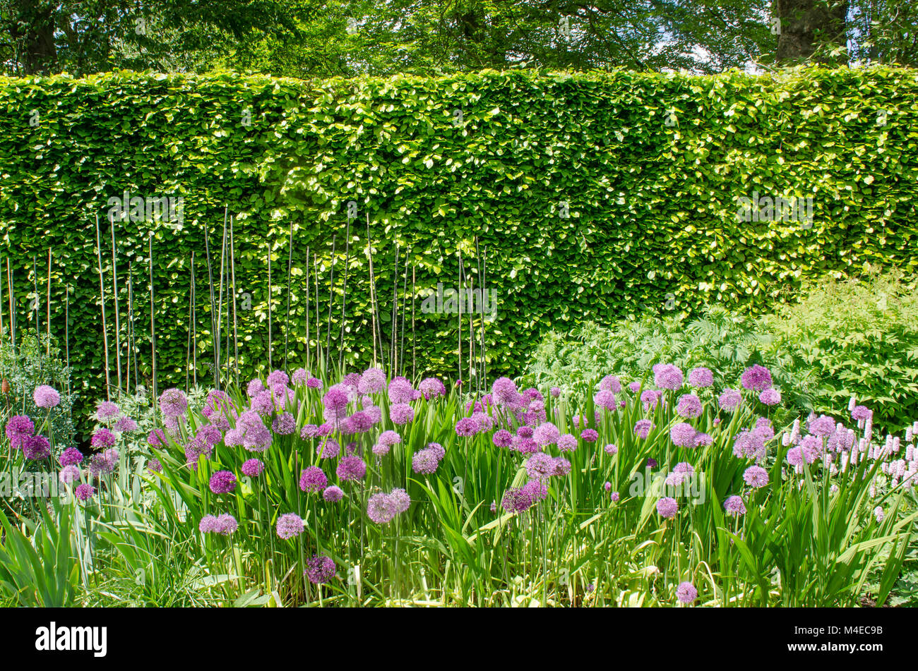 Purple alliums in English Border with Hedge - Stock Image