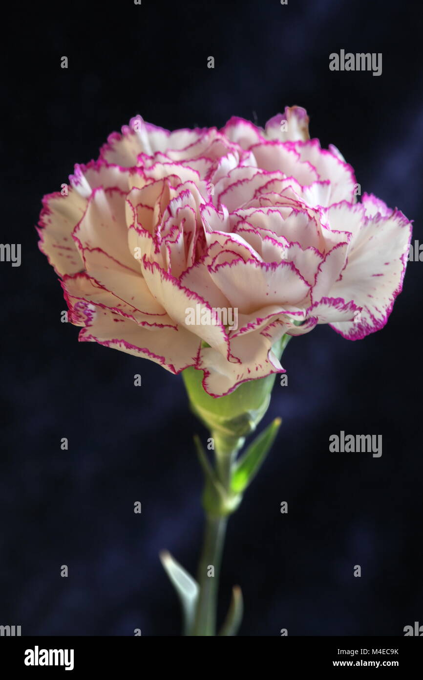 Single purple Terry carnation flower - Stock Image