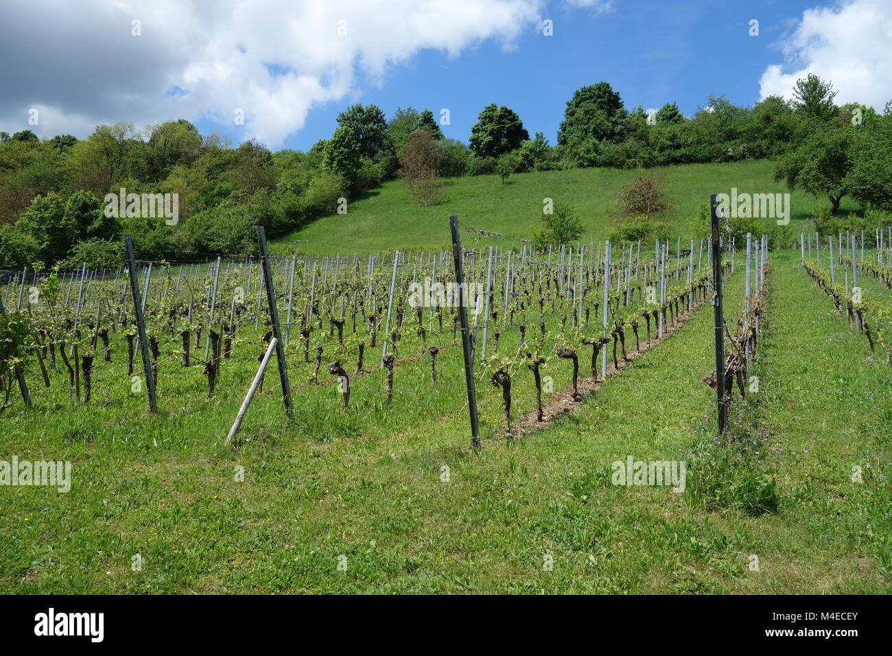 Vitis vinifera, Grape vine, young shoots Stock Photo