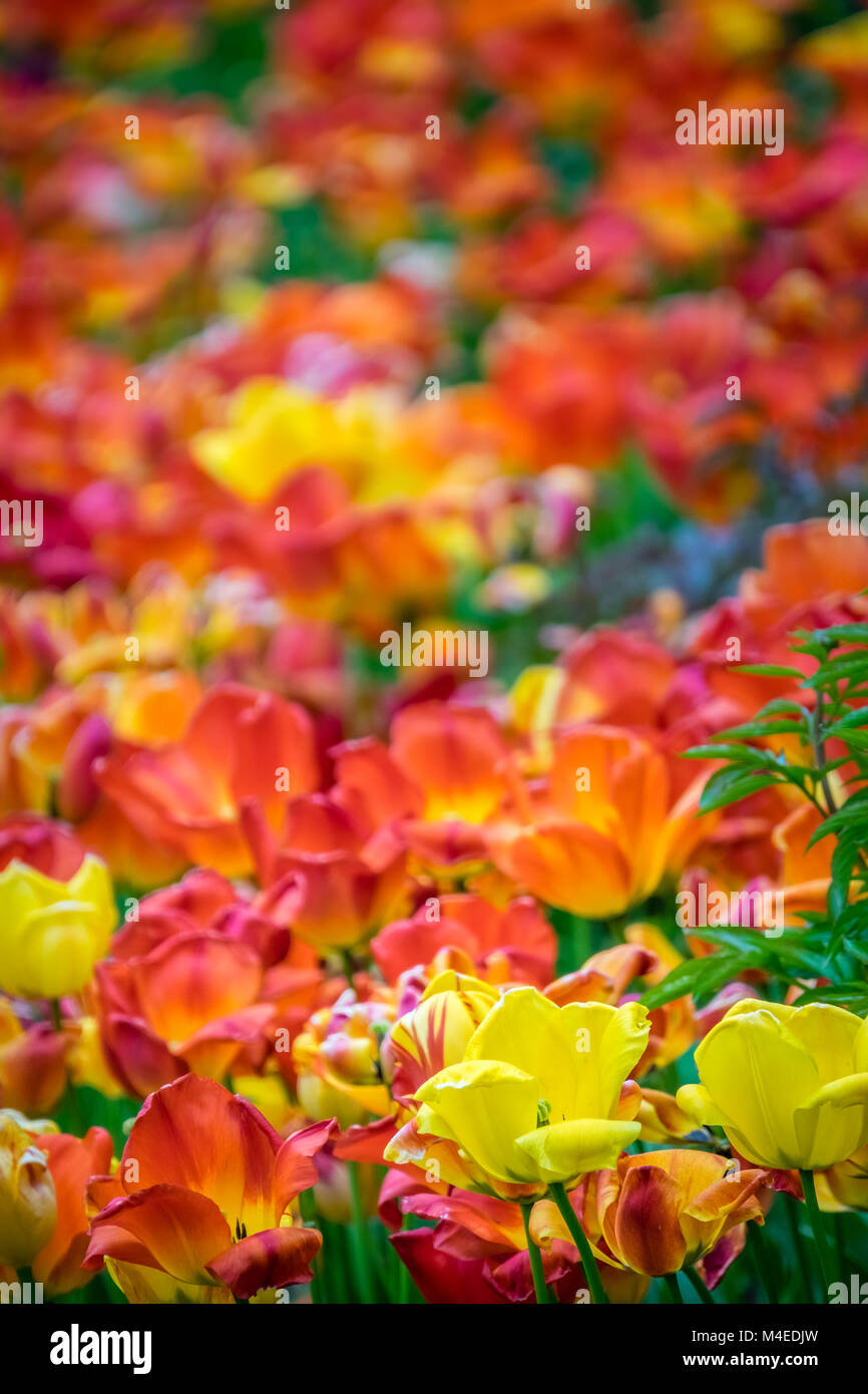 Field of red, orange and yellow tulips - Stock Image