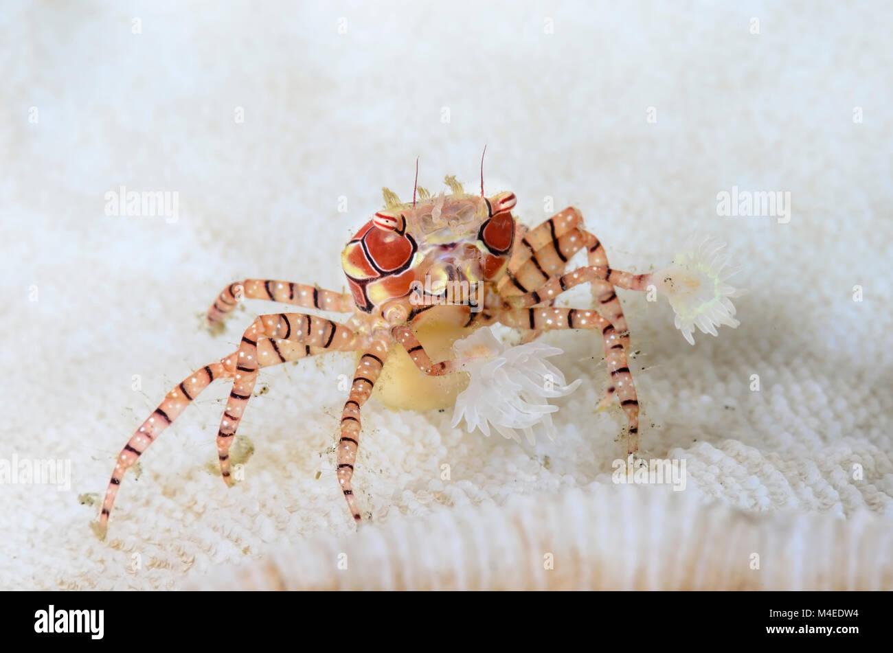 Mosaic Boxer crab, Lybia tesselata, Lembeh Strait, North Sulawesi, Indonesia, Pacific - Stock Image