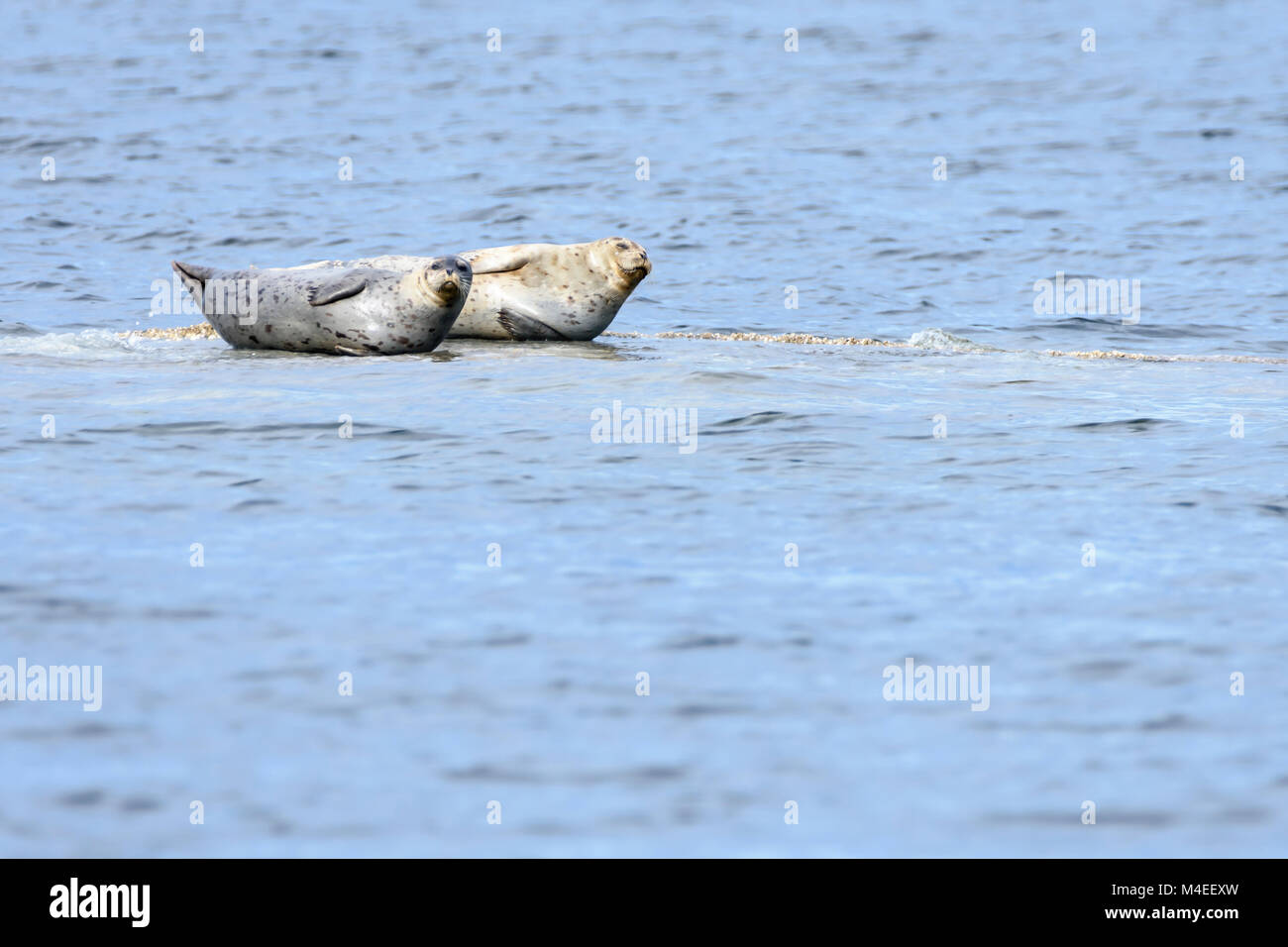 Harbour seals, Phoca vitulina, Sea Juan Islands, Washington, United States, Pacific - Stock Image