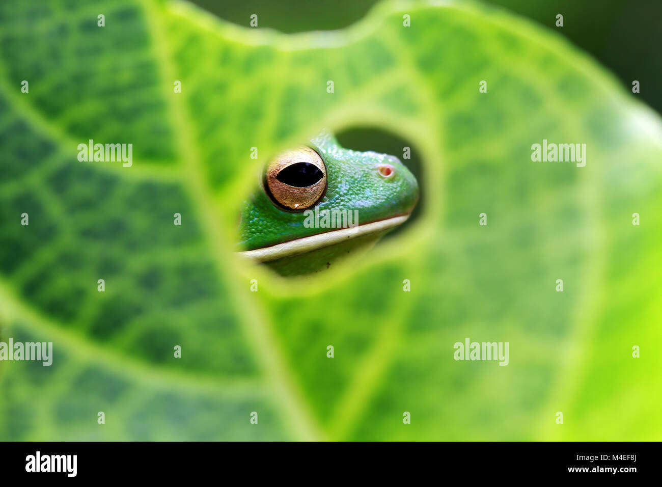 White lipped tree frog head seen through a hole in a leaf,Indonesia - Stock Image