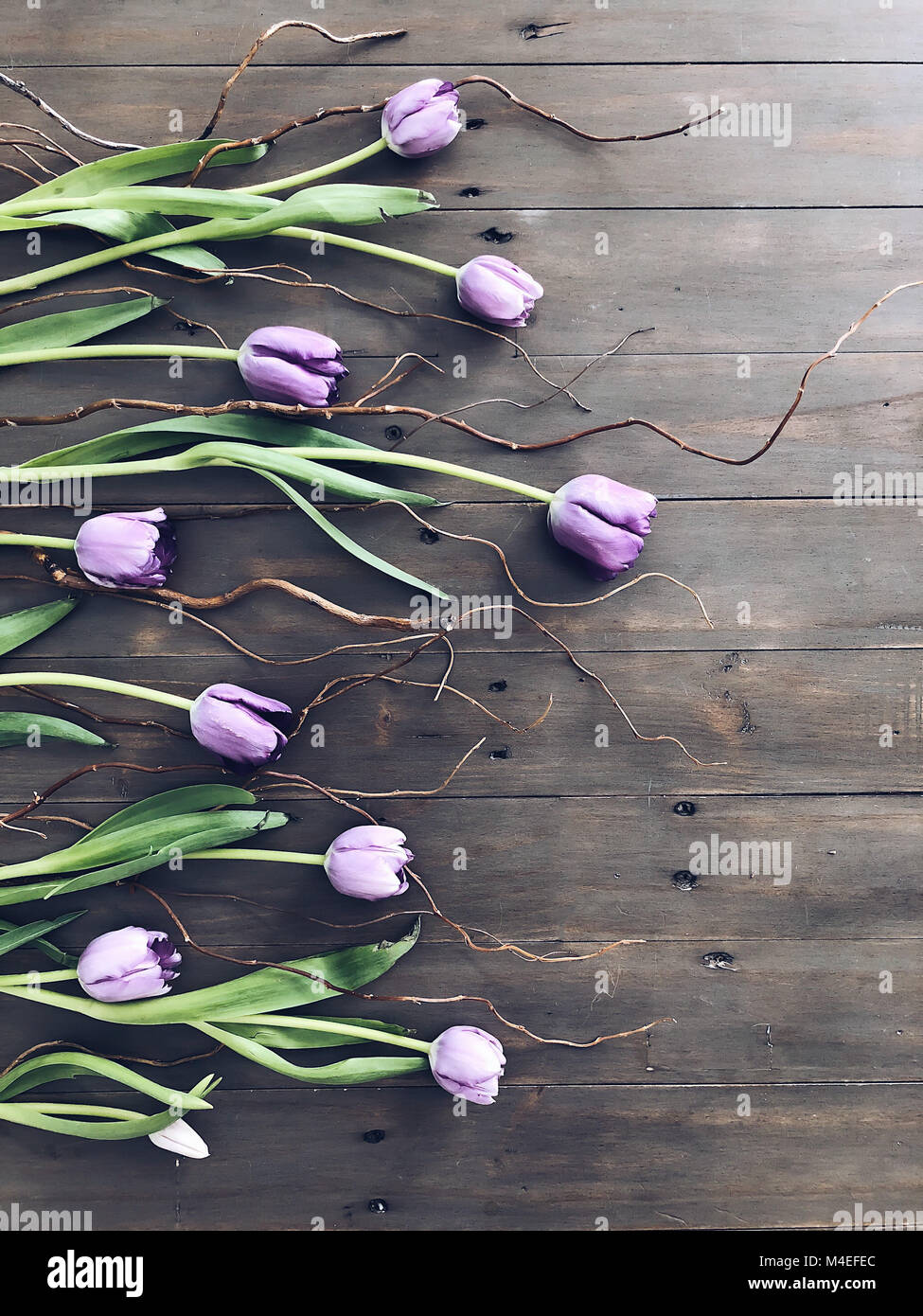Purple tulips and twigs - Stock Image