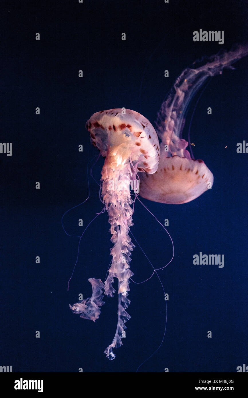 Purple striped jellyfish Chrysaora colorata has long tentacles - Stock Image