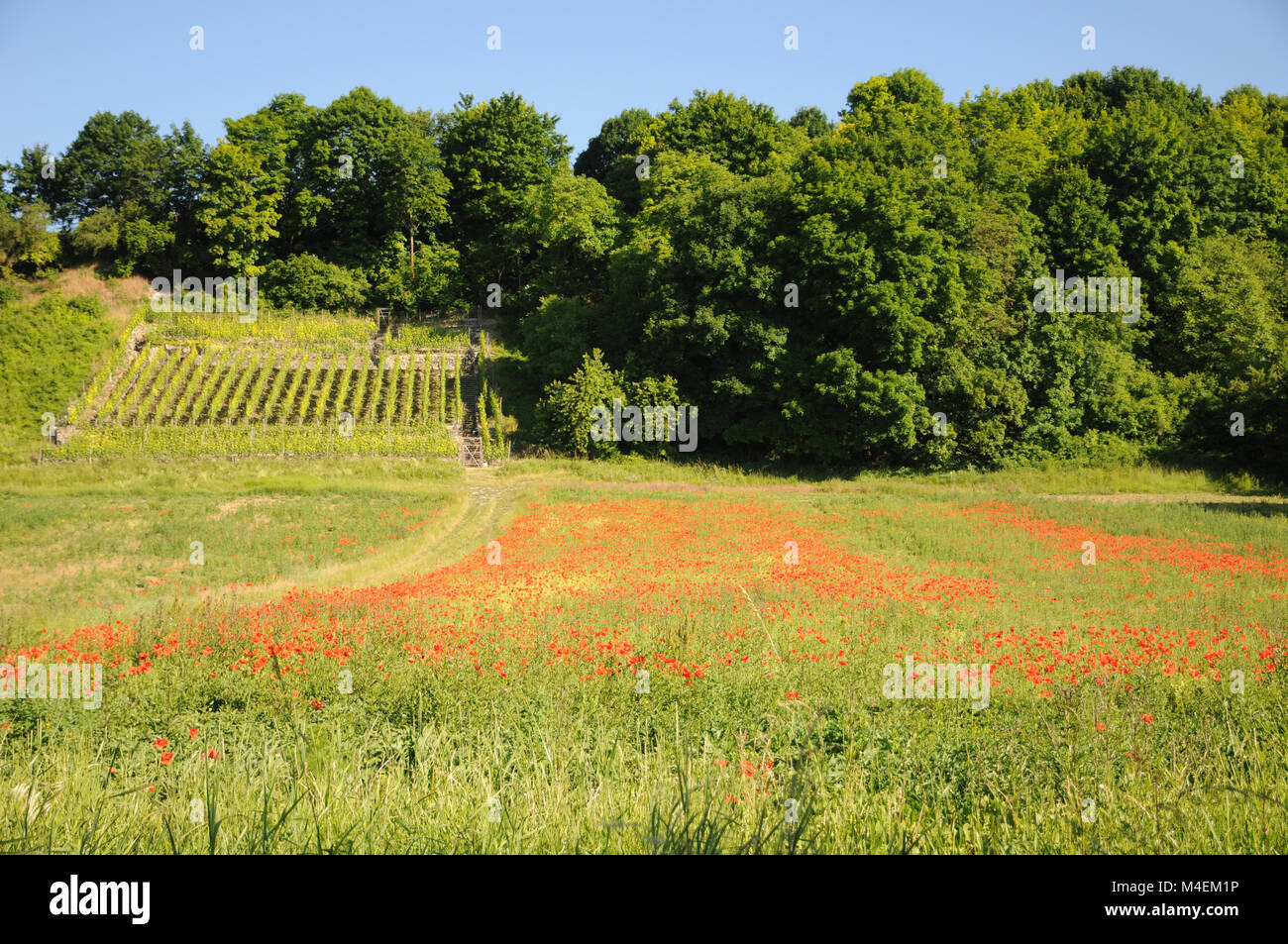 Papaver rhoeas, field poppy Stock Photo