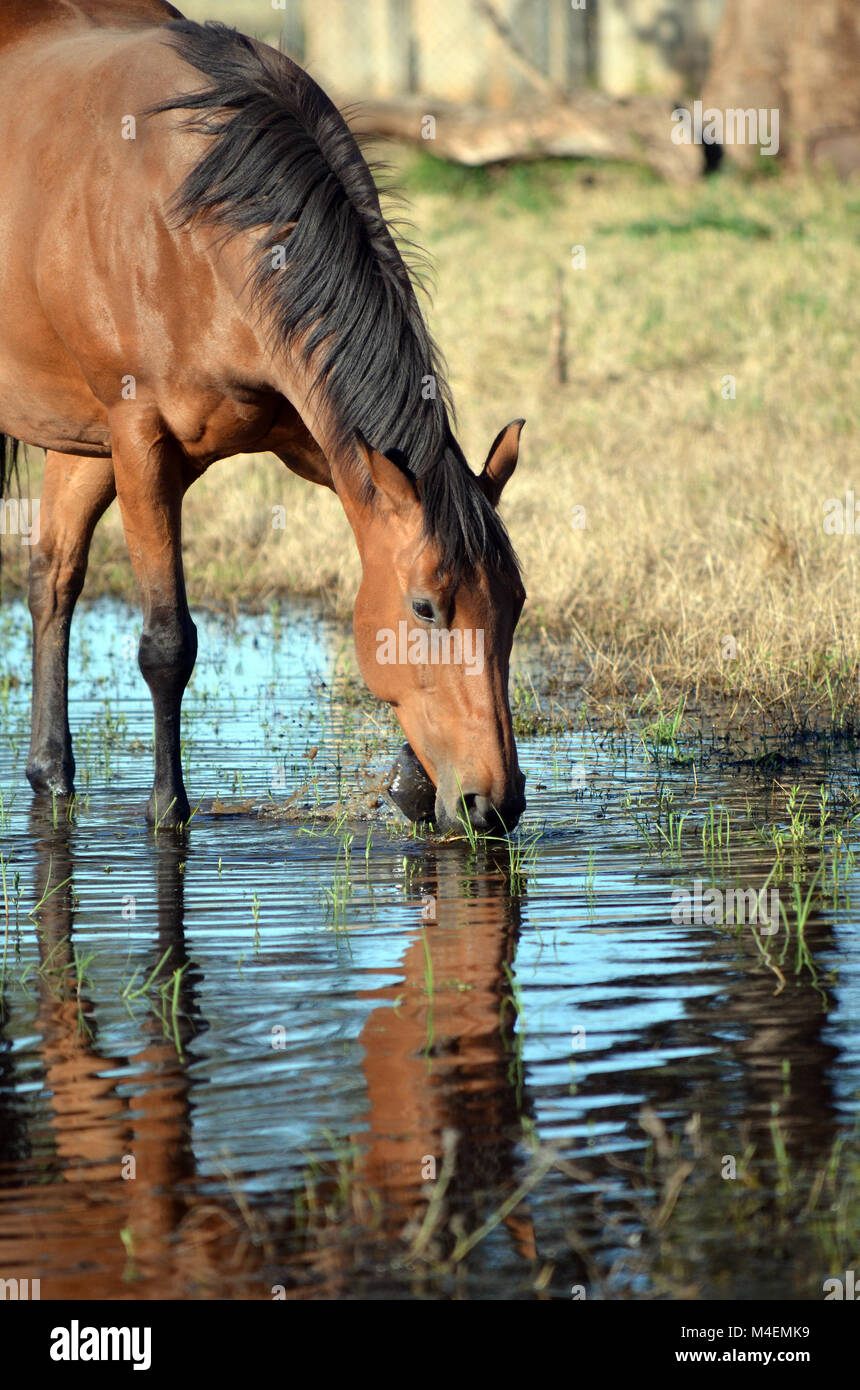 Bay coloured horse drinking and pawing water with reflection in watering hole. - Stock Image