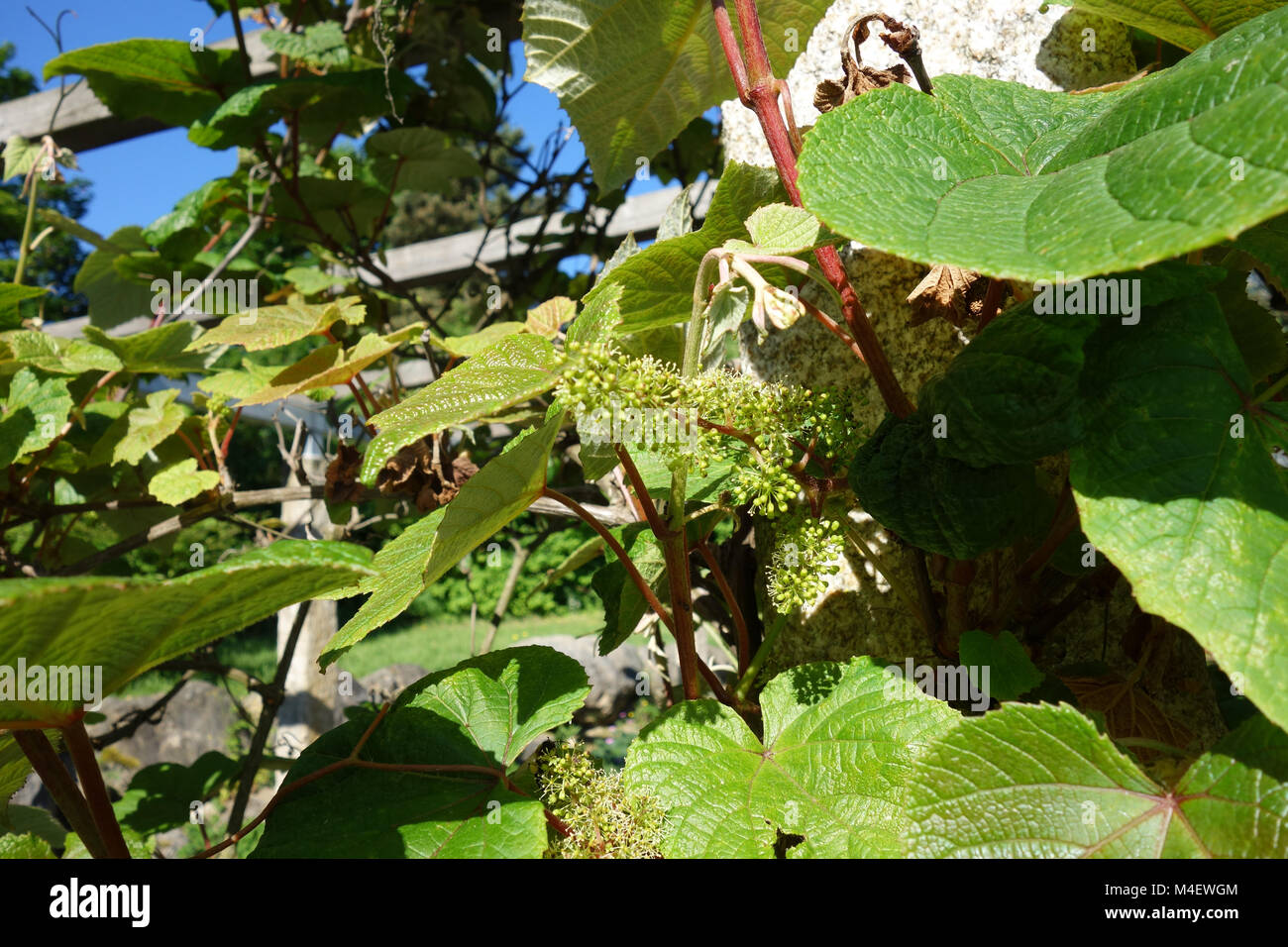 Vitis riparia, River Bank Grape, Blossom Stock Photo