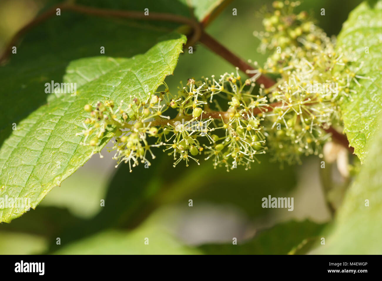 Vitis riparia, River Bank Grape, Blüten, Blossom Stock Photo