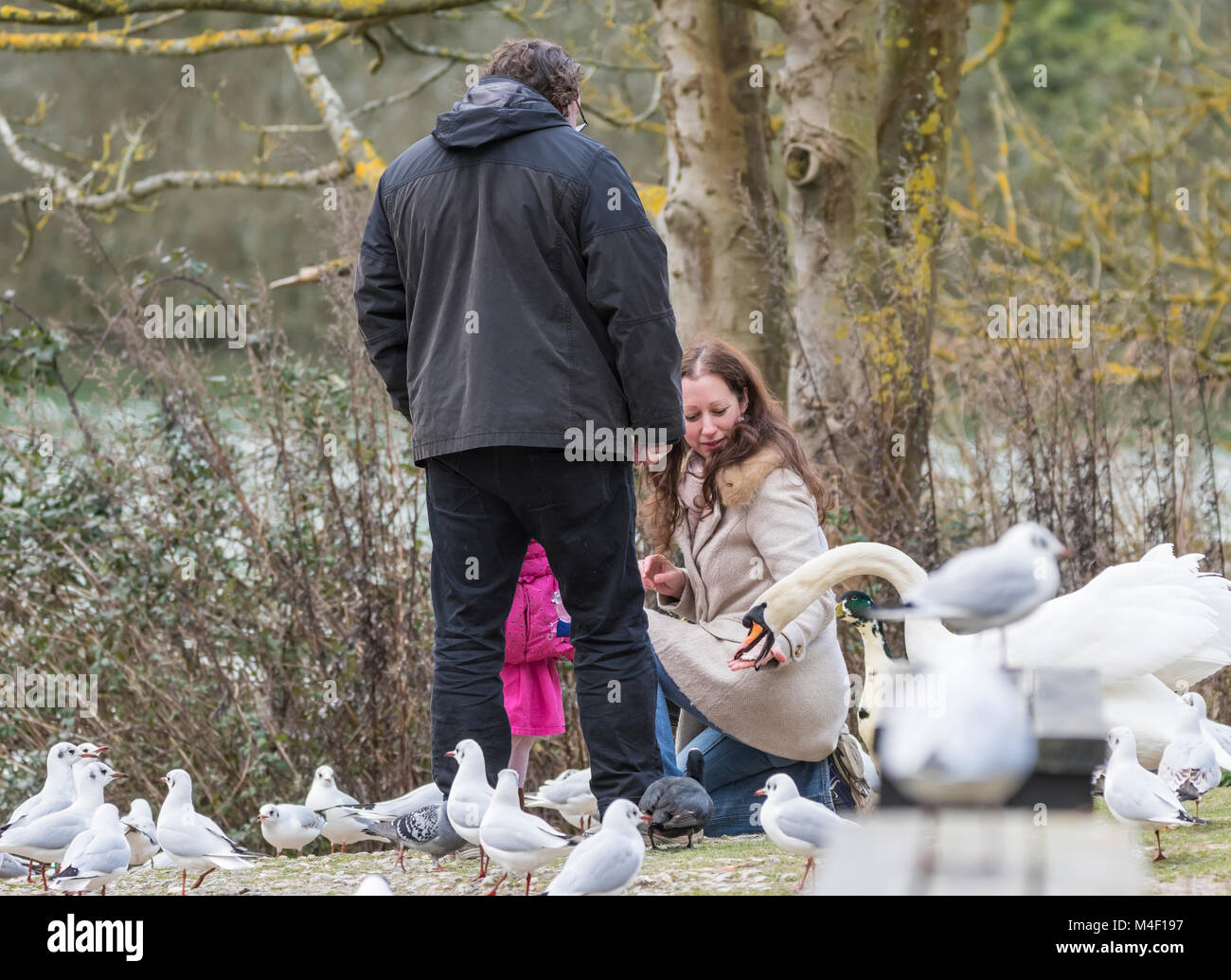 Feeding food to swans in the UK. - Stock Image