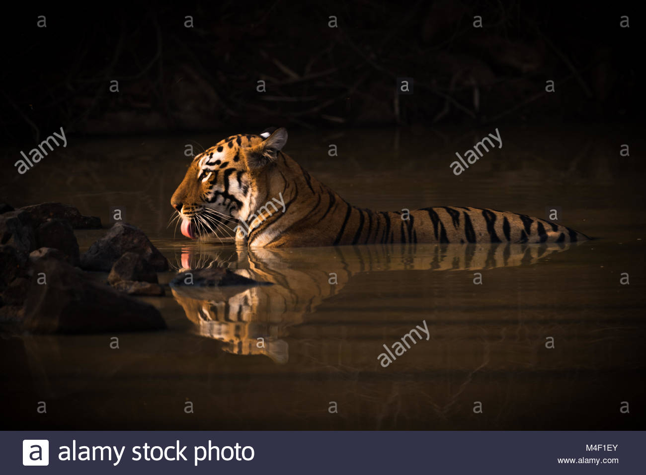 Bengal tiger drinking in shadowy water hole - Stock Image