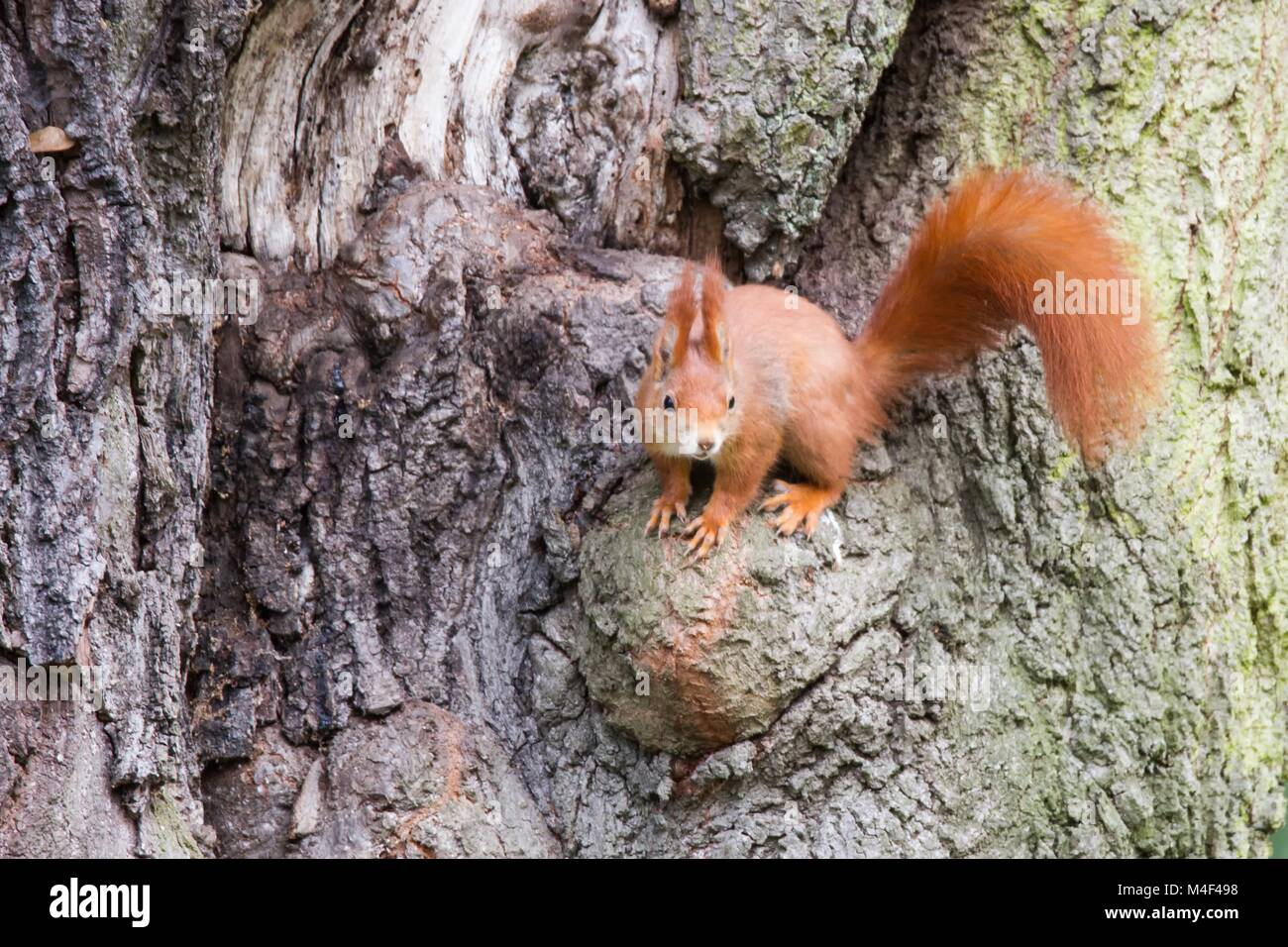 Red Squirrel 39 - Stock Image