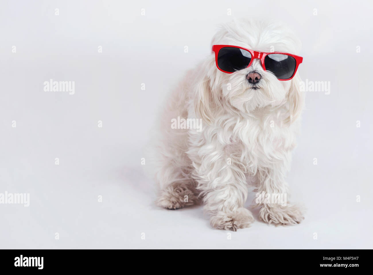 funny dog with sunglasses on white background - Stock Image