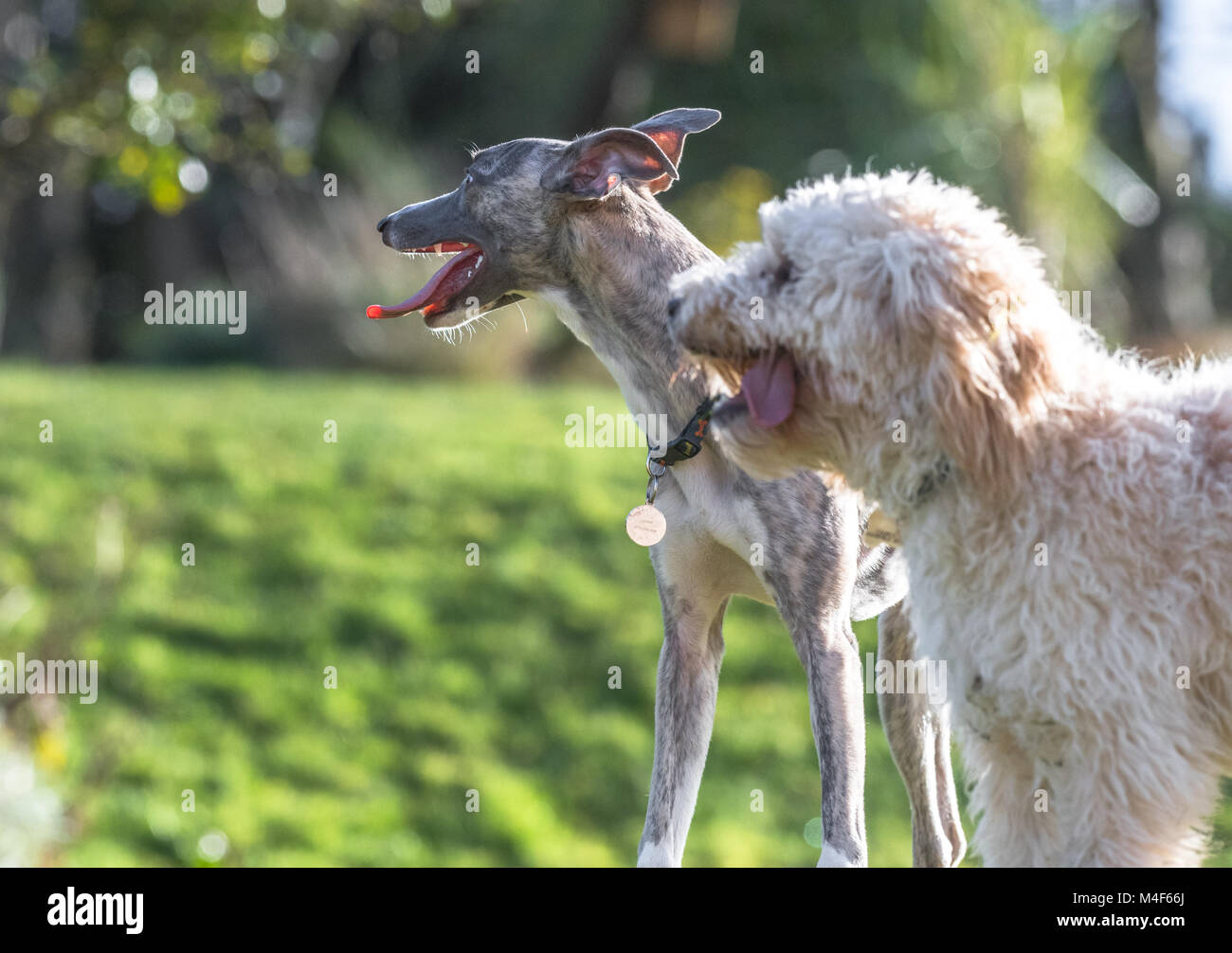 Whippet and Cockerpoo puppies. - Stock Image