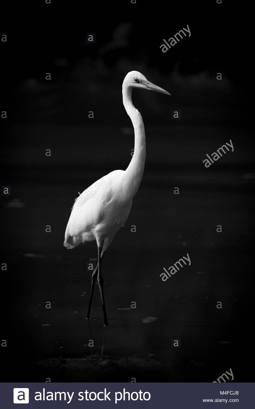 Intermediate egret wading through lake in mono - Stock Image