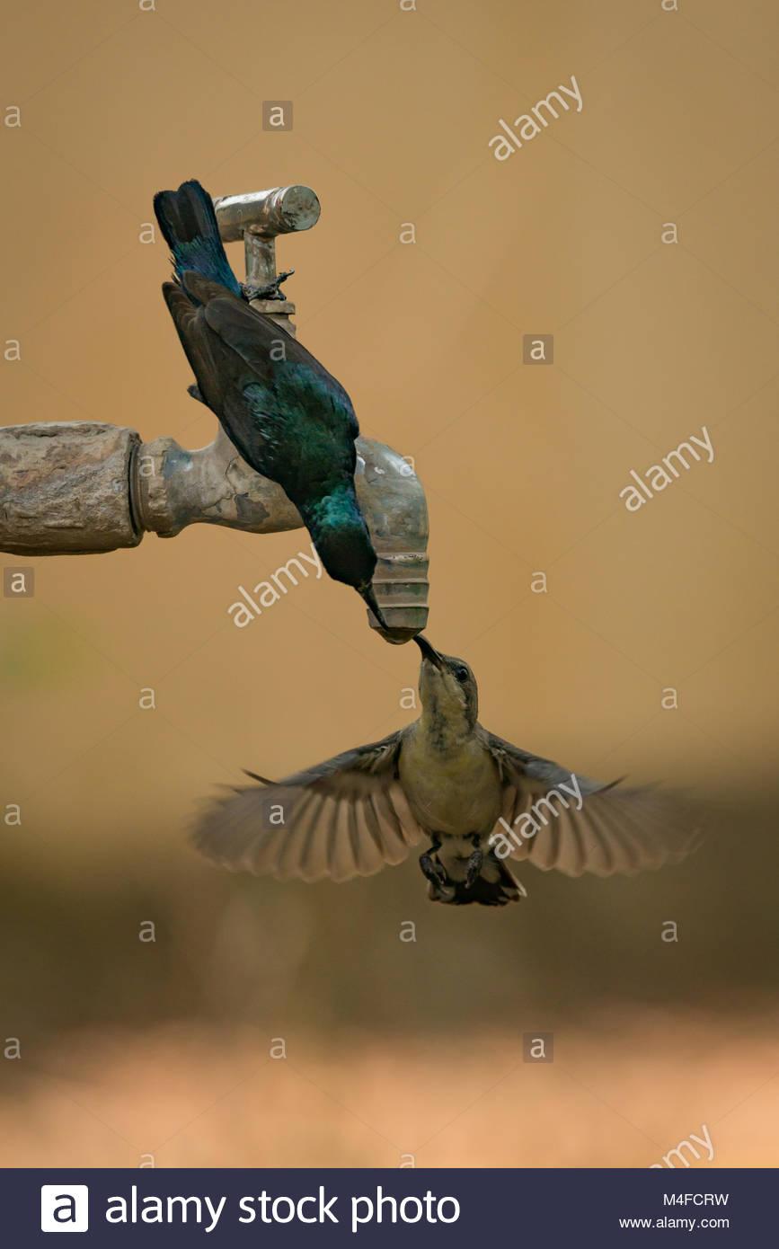 Pair of purple sunbirds drinking tap water Stock Photo