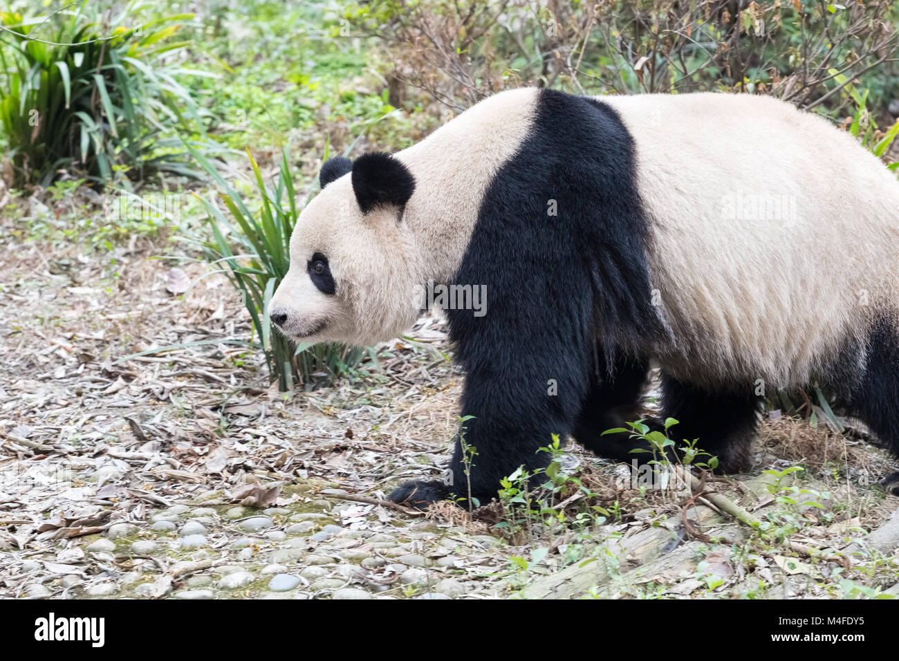 giant panda closeup - Stock Image