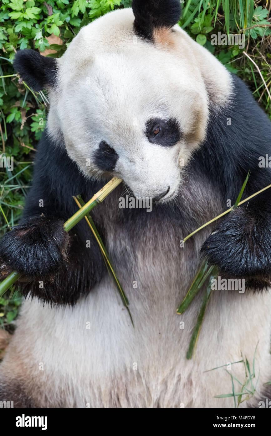 giant panda closeup Stock Photo