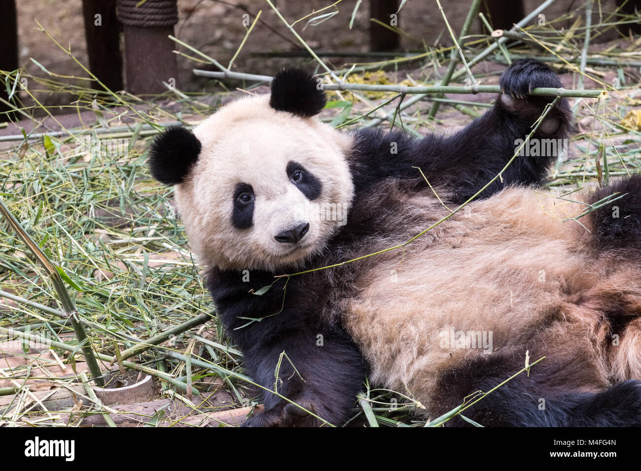 cute giant panda - Stock Image