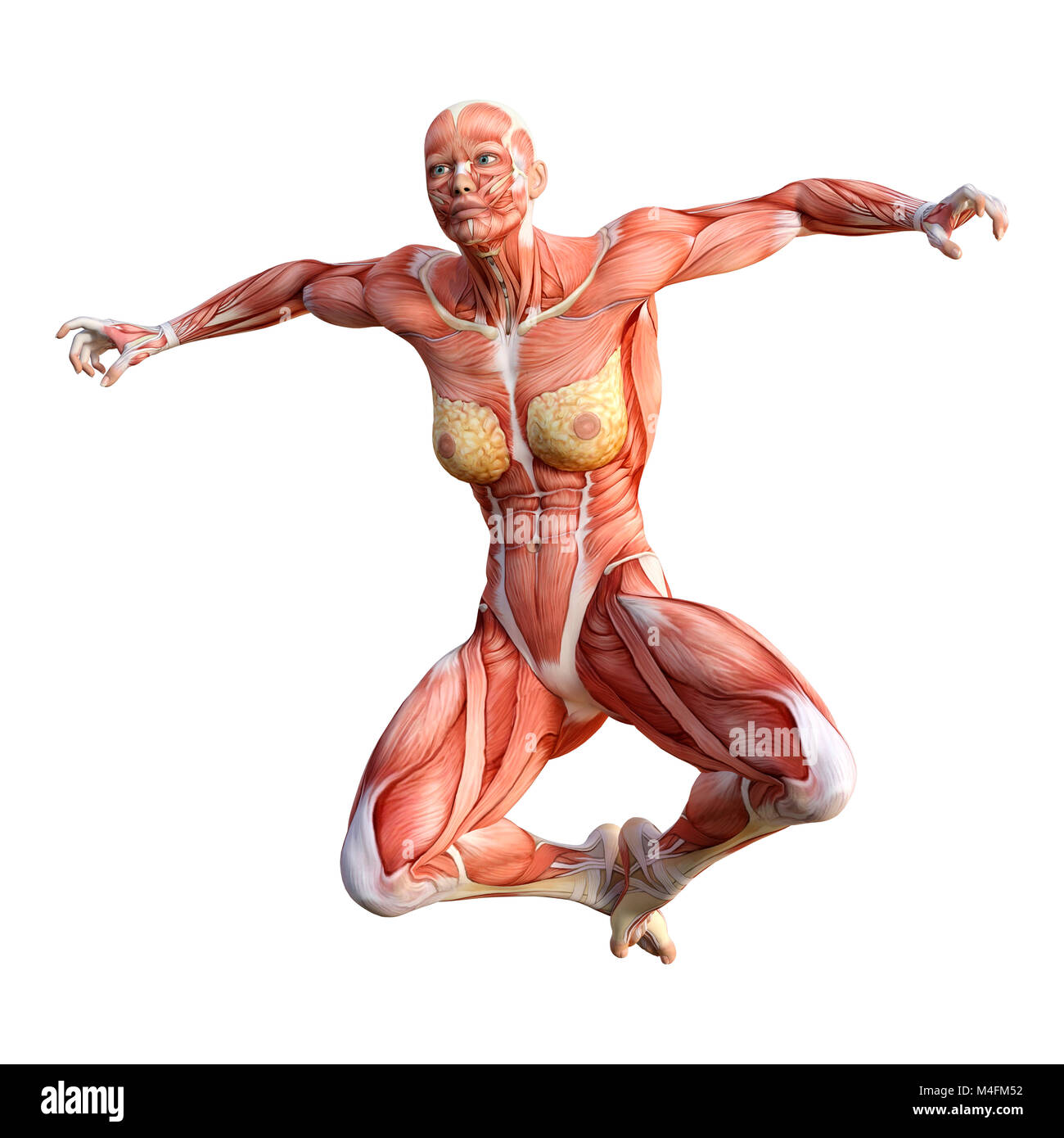 3D rendering of a female figure with muscle maps isolated on white ...