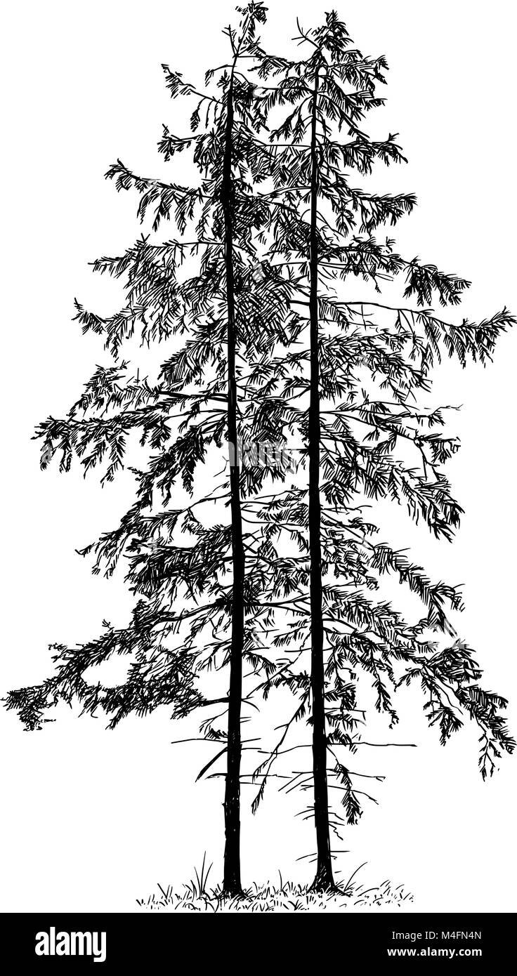 Cartoon Vector Drawing of Spruce Conifer Tree - Stock Image