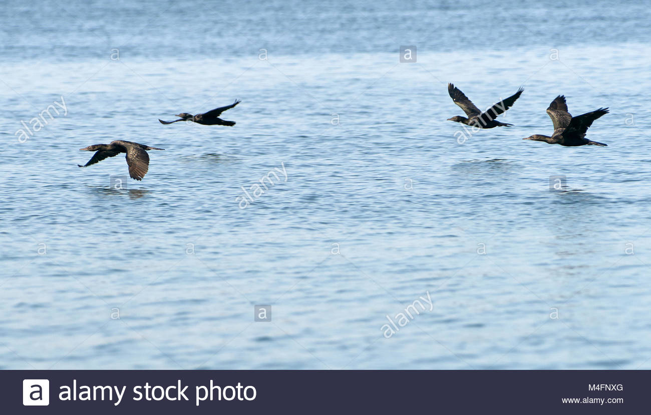 Some of a large flock of Little Black Cormorants, flying low above the water; heading downstream on the mighty Clarence - Stock Image
